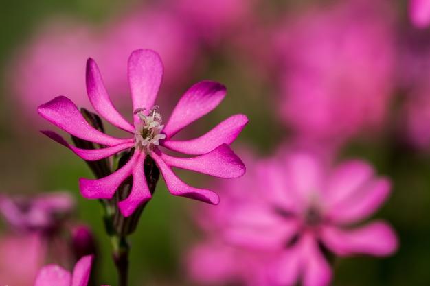 Prettypink pirouette, маленький розовый цветок в мальтийской сельской местности.