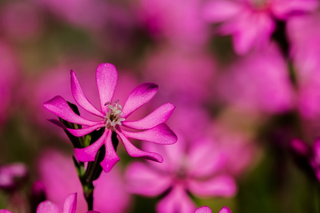 Prettypink pirouette, a small pink flower in the maltese countryside
