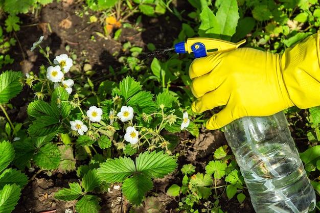 害虫に対する殺菌剤による開花中のイチゴの予防処理
