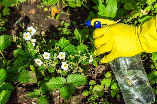 Prevention treatment of strawberries during flowering with a fungicide against pests