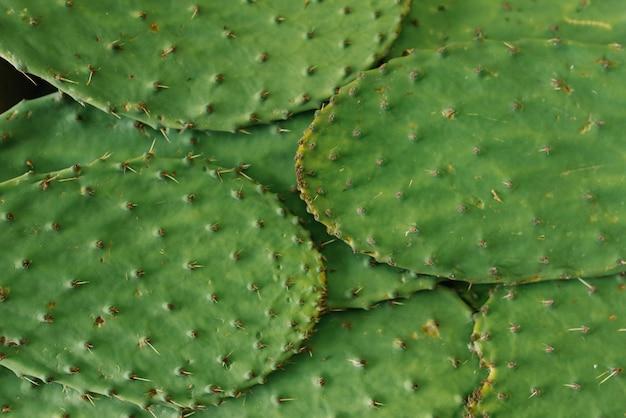 Prickly cactus leaves