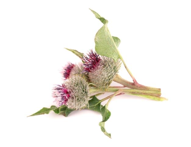 의욕적인 머리 또는 우엉 꽃, 흰색 배경에 고립. 약초 식물입니다.