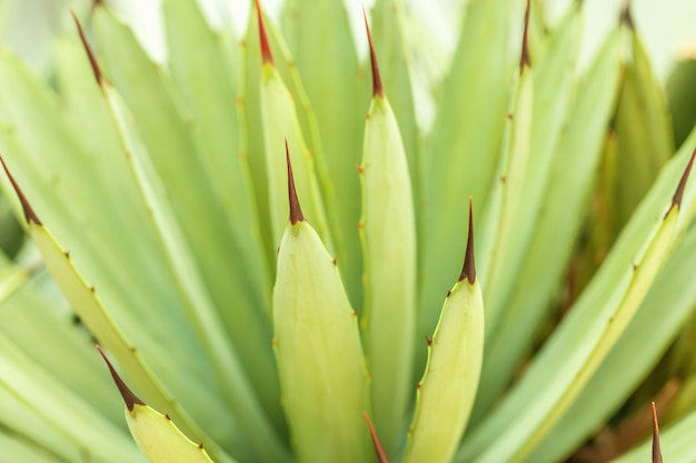 Prickly leaves of blue agave cactus close-up