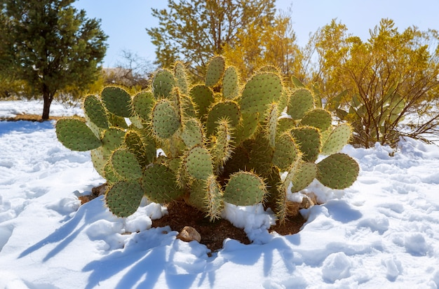 Prickly pear cactus covered in snow in arizona