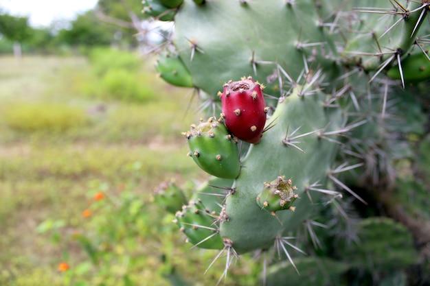 Опунция кактус плод крупным планом кактус