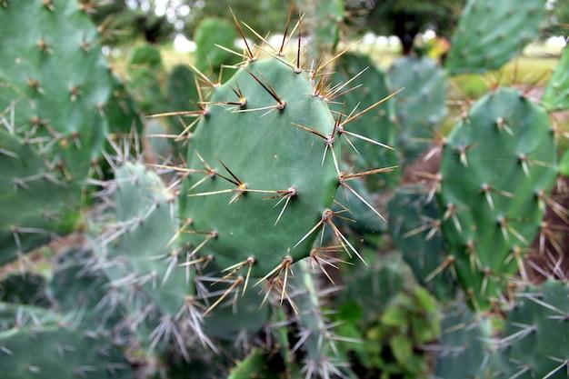 Кактус опунция зеленые подушечки крупным планом кактус