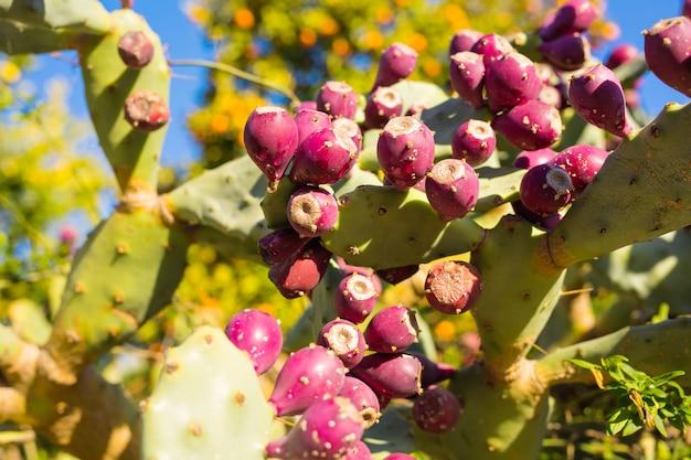 ウチワサボテンとフルーツ。サボテンの果実とウチワサボテンの屋外のクローズアップ