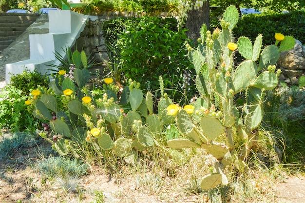 たくさんの黄色い花を持つウチワサボテンは、公園の屋外で育ちます。