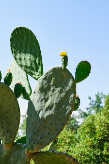 Prickly pear plant with its fleshy leaves full of thorns in a public park, opuntia lindheimeri