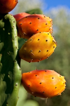 Prickly pears on cactus