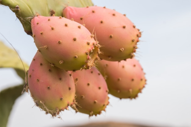 Prickly pears (opuntia ficus-indica)