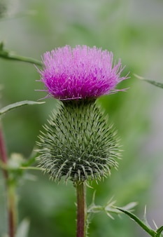 The prickly purple thistle growing in the garden