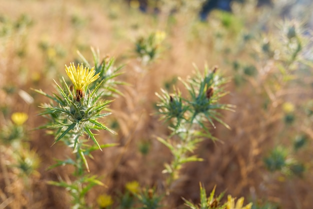 Prickly thistle flowers in backlight with yellow tones