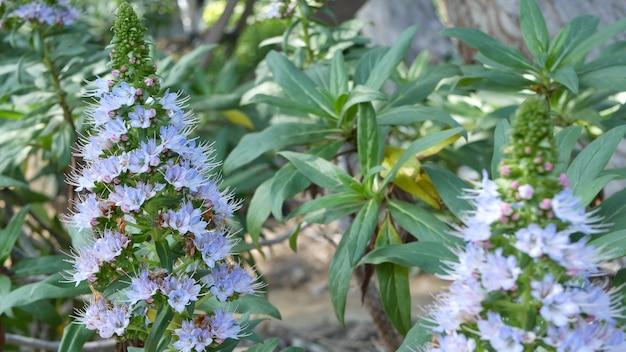 Гордость цветов сирени мадейры, калифорния, сша. echium candicans пурпурно-лилово-лилово цветет. домашнее озеленение, американское декоративное декоративное комнатное растение, естественная ботаническая атмосфера. конический цветок.