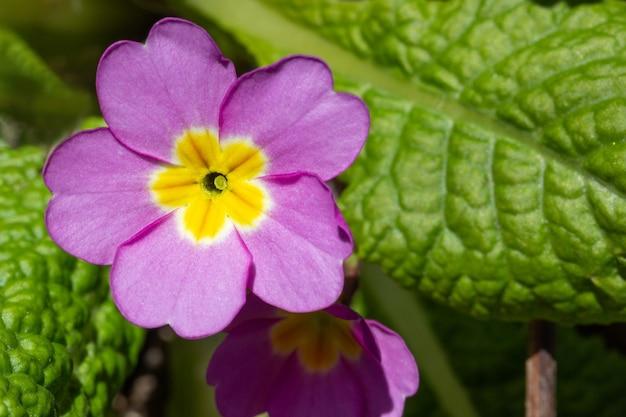春の晴れた日のプリムローズの花のクローズアップ上面図