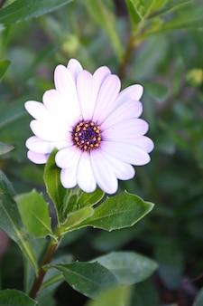 初夏に芽生えたプリムローズの花プリムス