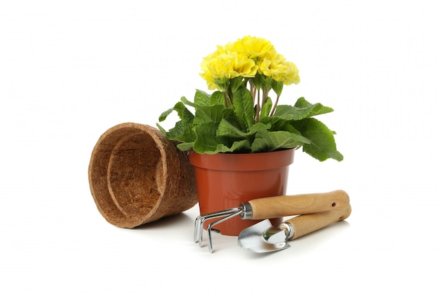 Primrose and gardening tools isolated on white isolated
