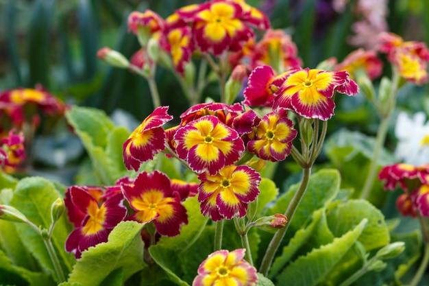 Primrose or primula in the spring garden
