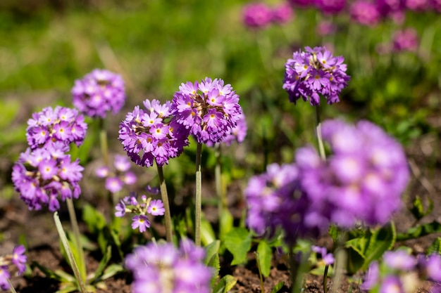 Primrose primula with violet flowers. inspirational natural floral spring or summer blooming garden or park under soft sunlight and blurred bokeh background. colorful blooming ecology nature landscape