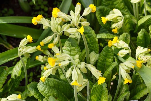 Primrose in spring garden