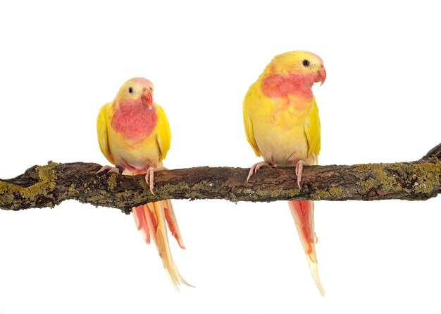 Princess parrot in front of white background