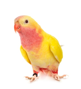Princess parrot in front of white isolated