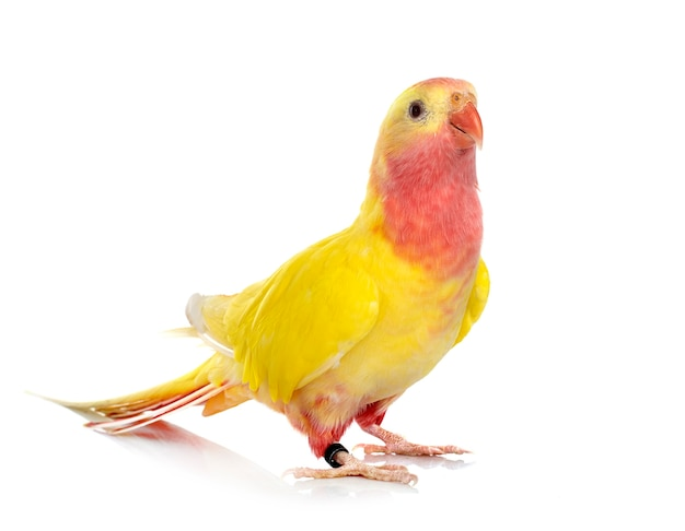 Princess parrot in front of white