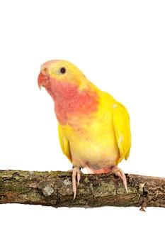 Принцесса-попугай перед белым
