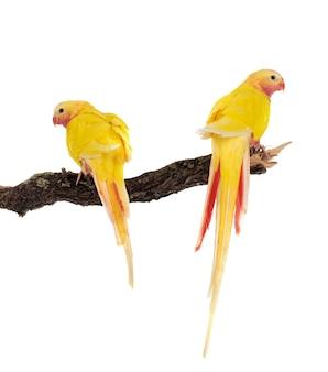 Princess parrots on branch