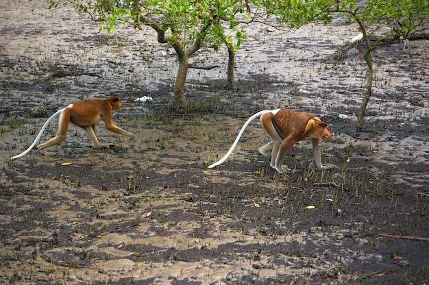 Обезьяна-хоботок, эндемик острова борнео в малайзии