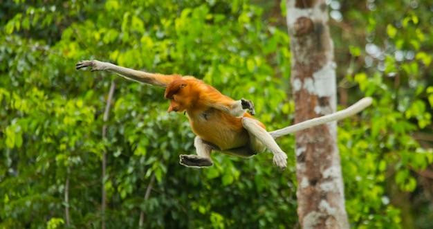 テングザルはジャングルの中で木から木へとジャンプしています。インドネシア。ボルネオ島。カリマンタン。