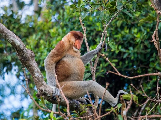 テングザルはジャングルの木の上に座っています。インドネシア。ボルネオ島。カリマンタン。