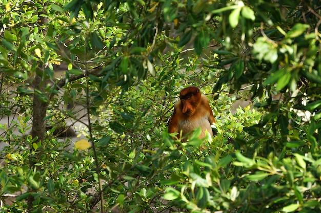 Обезьяна хоботок сидит на дереве, борнео, малайзия