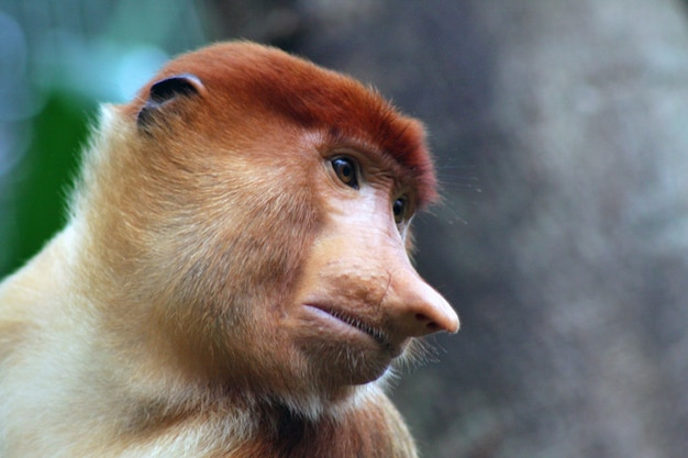 Proboscis monkey on a tree branch