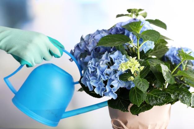 빛에 수국 꽃을 돌보는 과정