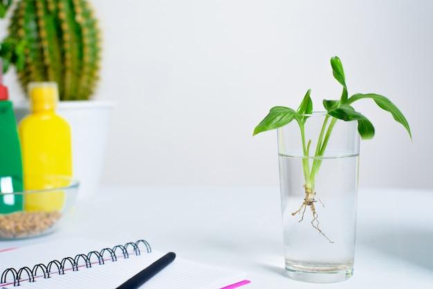 Процесс посадки горшечного цветка в горшок для проращивания в домашних условиях. полеситер для полива, блокнот для онлайн-записи процесса. цветок в прозрачном стакане с корнями.