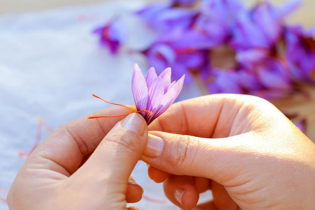 꽃의 나머지 부분에서 사프란 가닥을 분리하는 과정. 요리, 미용 또는 의약품에 사용하기 전에 건조를 위해 사프란 실을 준비합니다.