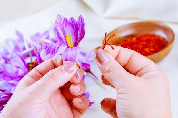 꽃의 나머지 부분에서 사프란 가닥을 분리하는 과정. 프리미엄 사진