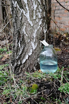 Production of birch sap