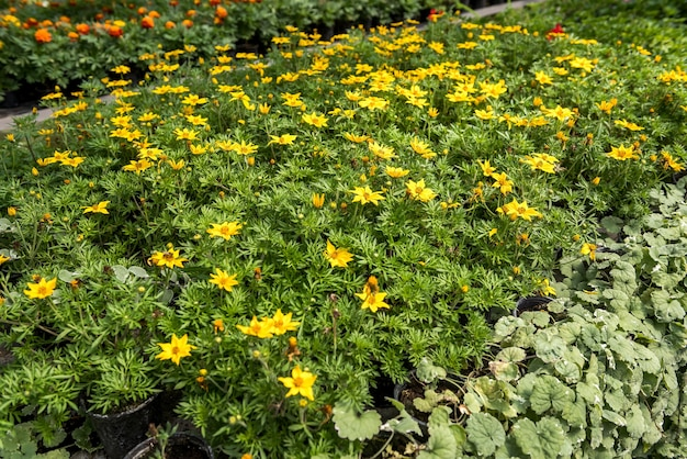 Production and cultivation different flowers in pot on shelves in modern hothouse
