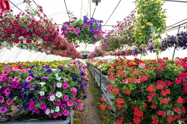 Production many colorful flowers plant in a greenhouse for sale.