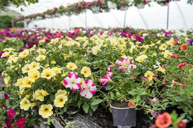 多くの色とりどりの花が温室に植えられて販売されています。