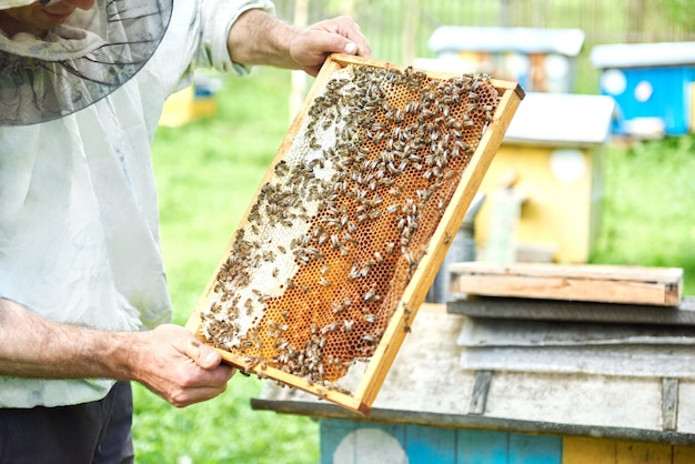 Professional beekeeper working with bees holding honeycomb from a beehive.