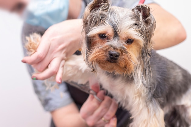 Professional cares for a dog in a specialized salon. groomers holding tools at the hands.