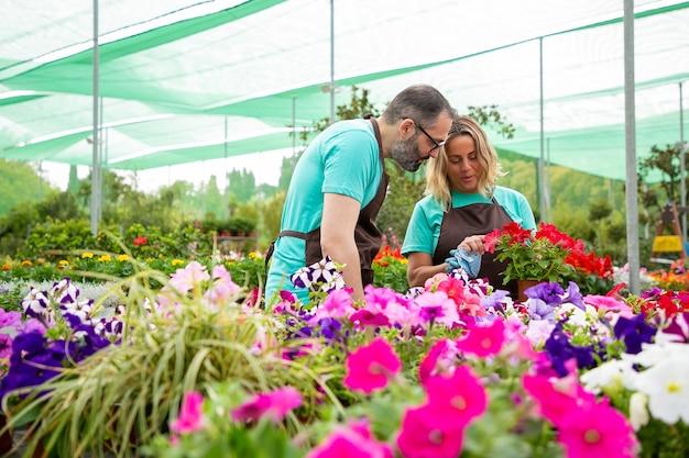 Professional gardeners discussing red petals of petunia plant