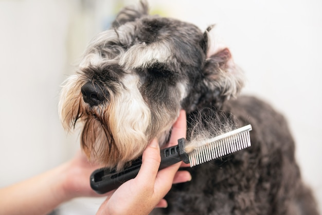Professional groomer combing schnauzer dog's hair with a comb.