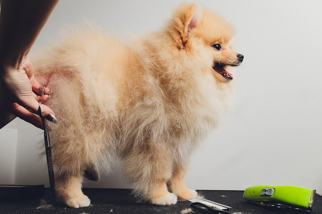 長寿の犬の足をトリミングするプロのグルーマー
