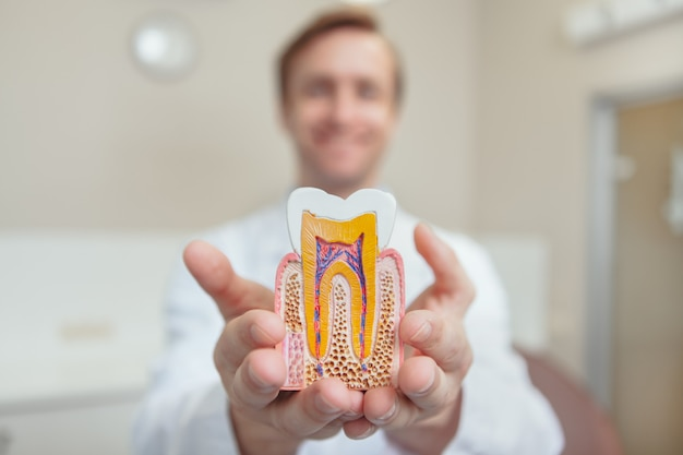 Professional orthodontist smiling holding out model of a healthy tooth