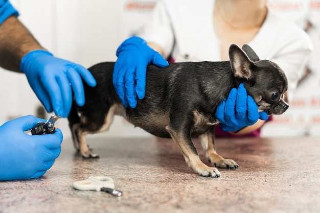 Professional veterinarian cuts the claws of a small dog of the chihuahua breed on a manipulation table in a medical clinic. pet care concept