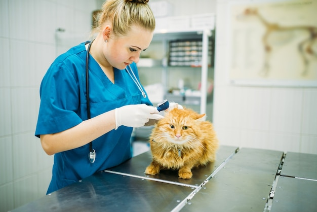 プロの獣医が猫の耳、獣医クリニックを見ています。動物病院で働く獣医